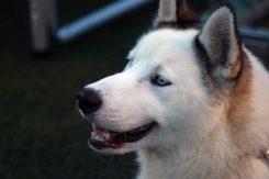 Izložba pasa, psi, pas